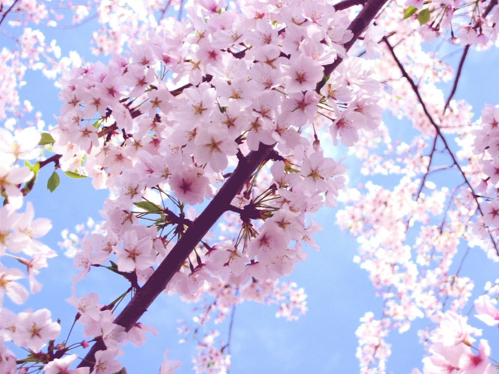 cherry_blossoms_washington_dc_-15t90pg