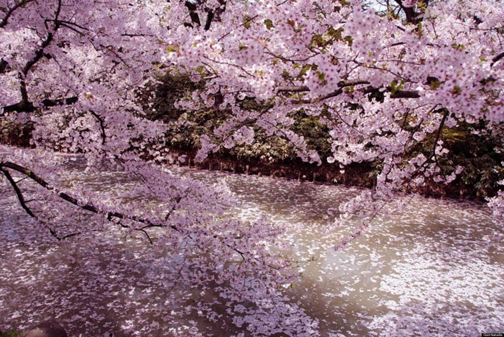 cherry blossoms tokyo 2